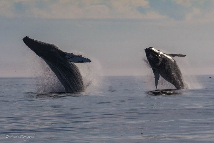 An amazing whale watching tour with Mariner Cruises in NS.... saw so many whales, it has spoiled me for any other tour I...